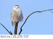 Купить «Snowy owl (Bubo scandiaca) perched on branch, Quebec, Canada, February», фото № 25270137, снято 2 июня 2020 г. (c) Nature Picture Library / Фотобанк Лори