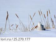 Купить «Snowy owl (Bubo scandiaca) on ground, Quebec, Canada, February», фото № 25270177, снято 2 июня 2020 г. (c) Nature Picture Library / Фотобанк Лори