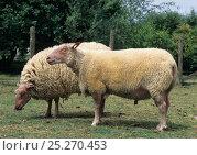 Купить «Domestic sheep (Ovis aries), Rouge de l'Ouest Sheep, ewe and ram, France», фото № 25270453, снято 15 августа 2018 г. (c) Nature Picture Library / Фотобанк Лори