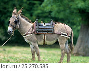 Купить «Domestic donkey (Equus asinus) Donkey of Cotentin, packdonkey tied up in field ready for packs to be loaded, France.», фото № 25270585, снято 19 января 2020 г. (c) Nature Picture Library / Фотобанк Лори