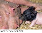 Купить «Domestic pig (Sus scrofa domestica) Limousin sow, with piglet, suckling, France.», фото № 25270769, снято 15 июля 2018 г. (c) Nature Picture Library / Фотобанк Лори