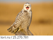 Snowy owl (Bubo scandiacus) yawning or bill-stretching, Grays Harbor County, Washington, USA December. Стоковое фото, фотограф Gerrit Vyn / Nature Picture Library / Фотобанк Лори