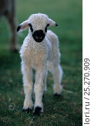 Domestic sheep (Ovis aries), Valais Blacknose / Wallis Blacknose / Walliser Schwarznaseschaf / Blacknosed Swiss, lamb, France. Стоковое фото, фотограф Yves Lanceau / Nature Picture Library / Фотобанк Лори
