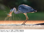 Купить «Grey Heron (Ardea cinerea) taking a fish from water. Kiskunsagi National Park, Hungary, May.», фото № 25270969, снято 18 января 2019 г. (c) Nature Picture Library / Фотобанк Лори