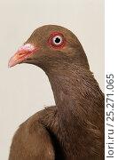 Купить «Domestic Pigeon (Roubaisien) portrait.», фото № 25271065, снято 22 февраля 2019 г. (c) Nature Picture Library / Фотобанк Лори