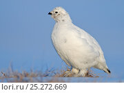 Купить «Willow grouse / ptarmigan (Lagopus lagopus) profile portrait, Agapa River, Taimyr Peninsula, Siberia, Russia», фото № 25272669, снято 21 октября 2019 г. (c) Nature Picture Library / Фотобанк Лори