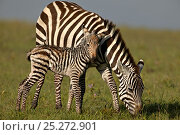 Burchell's Zebra (Equus quagga) mother with new born foal. Masai Mara, Kenya. (non-ex). Стоковое фото, фотограф Andy Rouse / Nature Picture Library / Фотобанк Лори