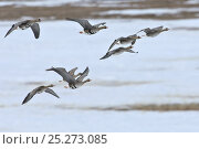 Купить «White fronted goose (Answer albifrons) flock in flight over ice, Agapa River, Taimyr Peninsula, Siberia, Russia», фото № 25273085, снято 15 октября 2019 г. (c) Nature Picture Library / Фотобанк Лори