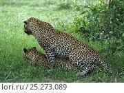Купить «Leopards mating (Panthera pardus) Okavango Delta, Botswana», фото № 25273089, снято 12 ноября 2019 г. (c) Nature Picture Library / Фотобанк Лори