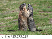 Two Alpine marmots (Marmota marmota) standing on hind legs fighting, Hohe Tauern National Park, Austrian Alps, Austria, May. Стоковое фото, фотограф Konstantin Mikhailov / Nature Picture Library / Фотобанк Лори