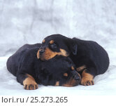 Domestic dog, Rottweiler, two puppies curled up together, studio portrait. Стоковое фото, фотограф Yves Lanceau / Nature Picture Library / Фотобанк Лори