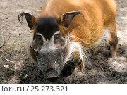 Red river hog (Potamochoerus porcus) captive. Стоковое фото, фотограф Edwin Giesbers / Nature Picture Library / Фотобанк Лори