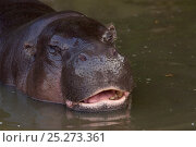 Pygmy hippopotamus (Choeropsis liberiensis) captive. Стоковое фото, фотограф Edwin Giesbers / Nature Picture Library / Фотобанк Лори