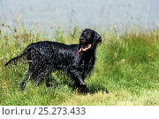 Domestic dog, Gordon Setter, adult coming out of water, soaking wet, France. Стоковое фото, фотограф Yves Lanceau / Nature Picture Library / Фотобанк Лори