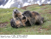 Three Alpine marmots (Marmota marmota) playing, Hohe Tauern National Park, Austrian Alps, Austria, May. Стоковое фото, фотограф Konstantin Mikhailov / Nature Picture Library / Фотобанк Лори