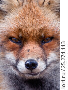 Купить «Red fox (Vulpes vulpes) head portrait, The Netherlands, March», фото № 25274113, снято 19 апреля 2019 г. (c) Nature Picture Library / Фотобанк Лори