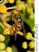 Купить «Common wasp (Vespula vulgaris) feeding on nectar of Ivy flower, South London, UK, October», фото № 25274281, снято 22 января 2018 г. (c) Nature Picture Library / Фотобанк Лори