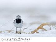 Купить «Grey wagtail (Motacilla cinerea) Agapa River, Taimyr Peninsula, Siberia, Russia», фото № 25274477, снято 26 января 2020 г. (c) Nature Picture Library / Фотобанк Лори