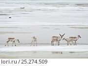 Купить «Caribou (Rangifer tarandus) small group on ice floe, Agapa River, Taimyr Peninsula, Siberia, Russia», фото № 25274509, снято 15 октября 2019 г. (c) Nature Picture Library / Фотобанк Лори