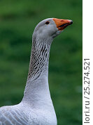 Купить «Domestic goose (Anser anser domesticus) Steinbacher male head portrait, France.», фото № 25274521, снято 7 июля 2020 г. (c) Nature Picture Library / Фотобанк Лори