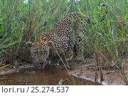 Купить «Leopard (Panthera pardus) low angle view of adult  drinking, Okavango Delta, Botswana», фото № 25274537, снято 24 февраля 2020 г. (c) Nature Picture Library / Фотобанк Лори