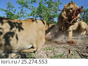 Купить «African lion (Panthera leo) close up and low angle shot of male snatching away part of carcass from rest of pride, Okavango Delta, Botswana», фото № 25274553, снято 29 марта 2020 г. (c) Nature Picture Library / Фотобанк Лори
