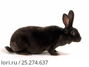 Купить «Domestic rabbit, Havana Rex, doe rabbit, studio portrait», фото № 25274637, снято 22 сентября 2018 г. (c) Nature Picture Library / Фотобанк Лори