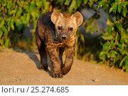 Common Hyena (Crocuta crocuta) young puppy portrait. Masai Mara, Kenya, Africa. Стоковое фото, фотограф Andy Rouse / Nature Picture Library / Фотобанк Лори