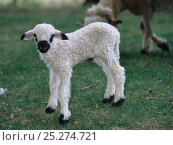 Domestic sheep (Ovis aries), Valais Blacknose / Wallis Blacknose / Walliser Schwarznaseschaf / Blacknosed Swiss, newborn lamb, France. Стоковое фото, фотограф Yves Lanceau / Nature Picture Library / Фотобанк Лори
