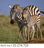 Купить «Burchell's Zebra (Equus quagga) mother with foal. Masai Mara, Kenya.», фото № 25274725, снято 7 июля 2020 г. (c) Nature Picture Library / Фотобанк Лори