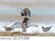 Купить «Ruffs displaying and fighting (Philomachus pugnax) Agapa River, Taimyr Peninsula, Siberia, Russia», фото № 25275085, снято 13 октября 2019 г. (c) Nature Picture Library / Фотобанк Лори