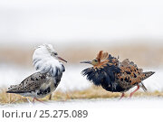 Купить «Ruffs displaying (Philomachus pugnax) Agapa River, Taimyr Peninsula, Siberia, Russia», фото № 25275089, снято 17 октября 2019 г. (c) Nature Picture Library / Фотобанк Лори