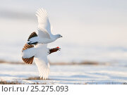 Купить «Willow grouse / ptarmigan (Lagopus lagopus) pair in flight, Agapa River, Taimyr Peninsula, Siberia, Russia», фото № 25275093, снято 14 октября 2019 г. (c) Nature Picture Library / Фотобанк Лори