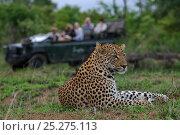 Купить «Leopard (Panthera pardus) resting portrait, with tourists watching from vehicle, Okavango Delta, Botswana», фото № 25275113, снято 17 ноября 2018 г. (c) Nature Picture Library / Фотобанк Лори