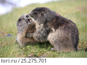 Two Alpine marmots (Marmota marmota) fighting, Hohe Tauern National Park, Austrian Alps, Austria, May. Стоковое фото, фотограф Konstantin Mikhailov / Nature Picture Library / Фотобанк Лори