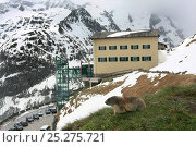 Alpine marmot (Marmota marmota) on grass in front of large building, Hohe Tauern National Park, Austrian Alps, Austria, May 2009. Стоковое фото, фотограф Konstantin Mikhailov / Nature Picture Library / Фотобанк Лори