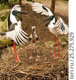 Купить «Black-necked stork / Jabiru (Ephippiorhynchus asiaticus) pair displaying on nest with fledgling, male on the left, captive, The Wildlife Habitat, Port Douglas, Queensland, Australia, August», фото № 25275929, снято 25 марта 2019 г. (c) Nature Picture Library / Фотобанк Лори