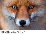 Купить «Red fox (Vulpes vulpes) portrait, captive», фото № 25276197, снято 16 февраля 2019 г. (c) Nature Picture Library / Фотобанк Лори