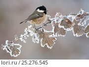 Купить «Coal tit (Periparus ater) adult perched in winter, Scotland, UK, December. Did you know? Coal tits keep in contact with their flock when searching for food, with constant 'dee' or 'seesee' calls.», фото № 25276545, снято 23 июля 2018 г. (c) Nature Picture Library / Фотобанк Лори