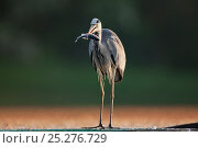 Купить «Grey Heron (Ardea cinerea) with fish in beak. Kiskunsagi National Park, Hungary, May.», фото № 25276729, снято 23 октября 2018 г. (c) Nature Picture Library / Фотобанк Лори