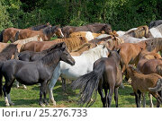 New Forest ponies, penned during the annual round-up / drift, near Fritham, New Forest National Park, Hampshire, England, September 2004. Стоковое фото, фотограф MIKE READ / Nature Picture Library / Фотобанк Лори
