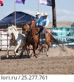 Купить «Two Indian cowboys, mounted on quarter horses, try to catch a bronc or wild paint horse during the All Indian Rodeo, at the annual Indian Crow Fair, at...», фото № 25277761, снято 19 июля 2018 г. (c) Nature Picture Library / Фотобанк Лори