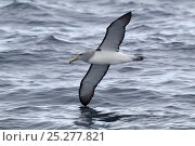 Adult Salvin's Albatross (Thalassarche salvini) in flight low over waves, showing the characteristic underwing pattern. Off Stewart Island, New Zealand, November. Стоковое фото, фотограф Brent Stephenson / Nature Picture Library / Фотобанк Лори