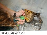Купить «Hazel dormouse (Muscardinus avellanarius), Kent, UK. Members of Kent Mammal Group conduct monthly dormouse survey, checking nestbox and returning Dormouse to nestbox, August 2011. Model released.», фото № 25277941, снято 29 февраля 2020 г. (c) Nature Picture Library / Фотобанк Лори