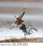 Купить «Ruffs displaying and fighting (Philomachus pugnax) Agapa River, Taimyr Peninsula, Siberia, Russia», фото № 25278453, снято 17 октября 2019 г. (c) Nature Picture Library / Фотобанк Лори