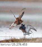 Купить «Ruffs displaying and fighting (Philomachus pugnax) Agapa River, Taimyr Peninsula, Siberia, Russia», фото № 25278453, снято 9 апреля 2020 г. (c) Nature Picture Library / Фотобанк Лори
