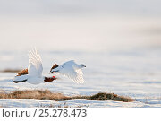Купить «Willow grouse / ptarmigan (Lagopus lagopus) pair in flight, Agapa River, Taimyr Peninsula, Siberia, Russia», фото № 25278473, снято 13 мая 2020 г. (c) Nature Picture Library / Фотобанк Лори
