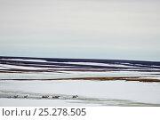 Купить «Caribou (Rangifer tarandus) travelling across melting ice, Agapa River, Taimyr Peninsula, Siberia, Russia, 2009», фото № 25278505, снято 3 апреля 2020 г. (c) Nature Picture Library / Фотобанк Лори