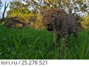 Купить «Leopard (Panthera pardus) low angle view of adult walking, Okavango Delta, Botswana», фото № 25278521, снято 24 февраля 2020 г. (c) Nature Picture Library / Фотобанк Лори