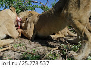 Купить «African lions (Panthera leo) close up and low angle shot of pride feeding on carcass, Okavango Delta, Botswana», фото № 25278537, снято 22 октября 2018 г. (c) Nature Picture Library / Фотобанк Лори